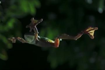 دنیای حیوانات - قورباغه پرنده